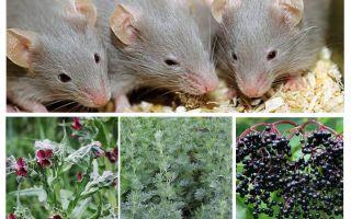 Как вывести грызунов из дома химическими и народными средствами