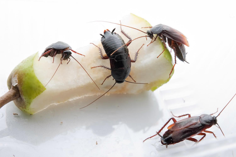 Как вывести тараканов из дома народными средствами