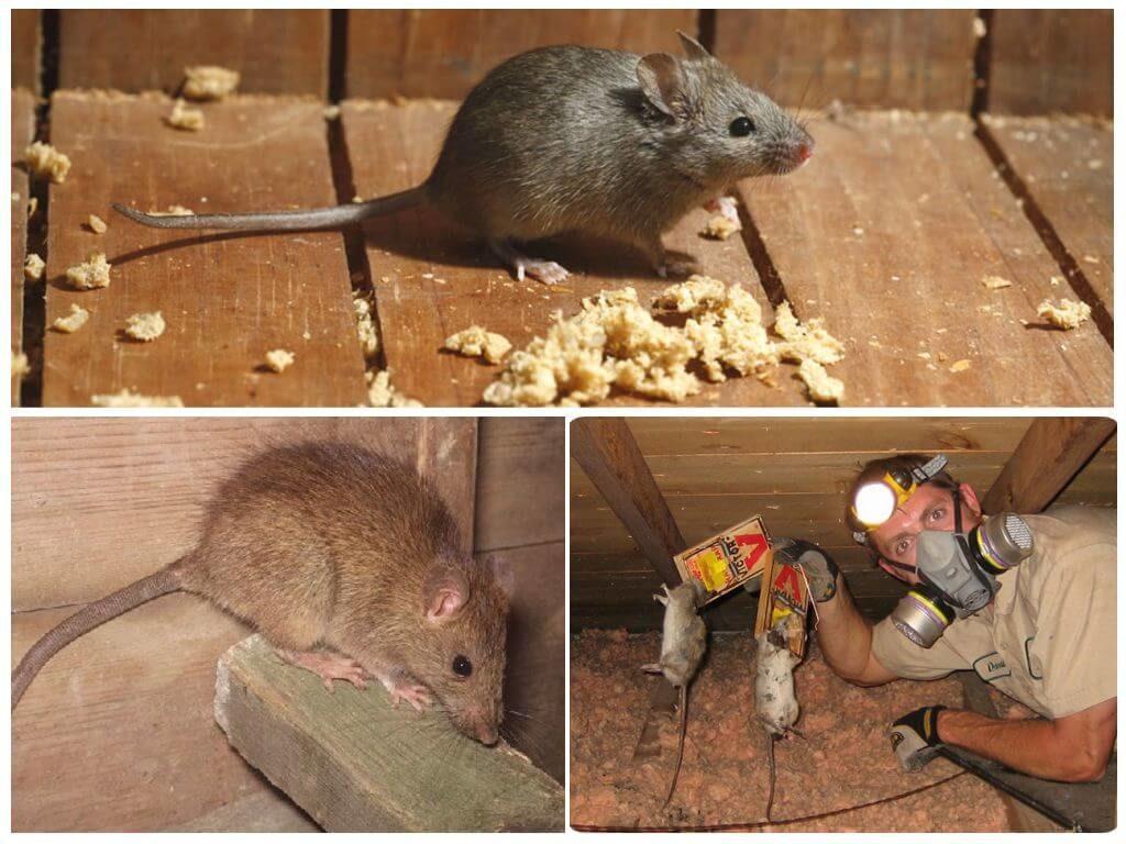 Почему в квартире могут завестись грызуны и как их вывести