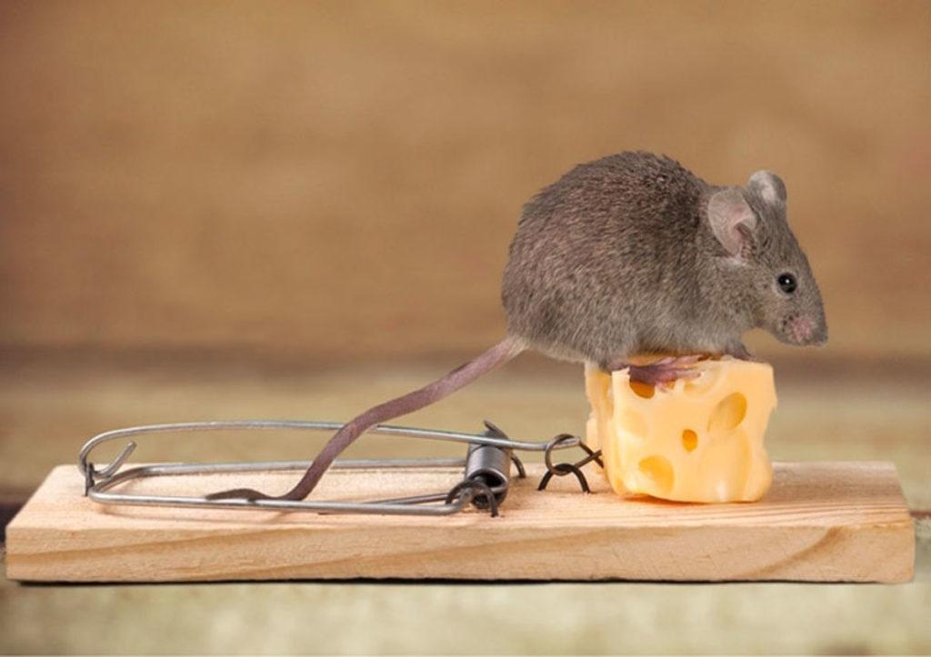 Что делать если в доме завелись мыши