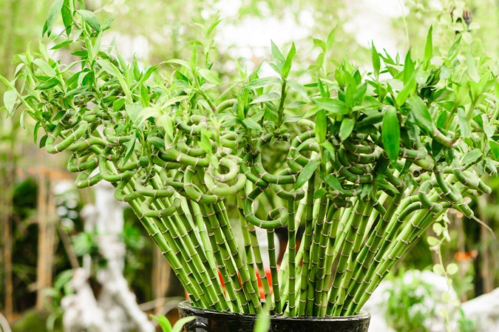 Как правильно выращивать комнатный бамбук в домашних условиях